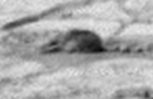 A rodent type animal on Mars